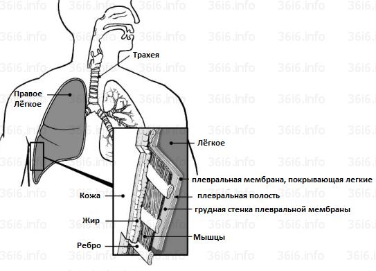 плевральная мембрана лёгкого